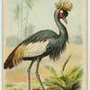 The Crowned Crane.