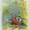 The Crowned Pigeons.