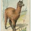 The Llama.