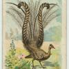 The Lyre Bird.