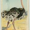 The Ostrich.