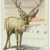 The Reindeer.
