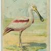The Spoonbill.