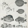 1. Rostrated dory; 2. Hair-finned dory; 3. Plaice of New-York; 4. New-York sole; 5. Sheepshead; 6. Weakfish; 7. Blue Lumpfish; 8 Yellow Scorp¿na