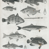 1. Blackfish or tautog; 2. Bergall or chagset; 3. Grunts or young drum; 4. Striped basse and rockfish; 5. King-fish; 6. Sea basse or black harry; 7. Big porgy; 8. New-York trumpet-fish; 9. Entronotos or Crabeater; 10. Triple-tailed or Black perch.