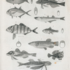 Horse mackerel or Scomber plumbeus; 2. Yellow mackerel, or S. chrysas; 3. Banded mackerel, or S. Zonatus; 4. Sea robin, or trigla lineata; 5. Web-fingered gurnard; 6. Small silverside, or Therina notata; 7. Sheepshead killerfish, or Essex ovinus; 8. New-York gudgeon, or Esox flavulus; 9. Mouse-fish, or Lophius gibbus; 10. Six-rayed polyneme