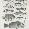 1. Single-bearded flying fish; 2. Doubled-bearded flying fish; 3. new_York flying fish; 4. Cloudy Chœtodon; 5. Hippos mackerel; 6. Summer herring of New-York; 7. bony fish or Menhade; 8. Fall hering or alewife of New-York; 10 Red drum or Sciœna Gigas.