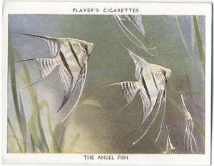 The Angel Fish.