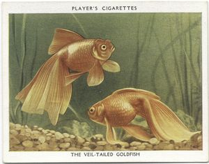 The Veil-tailed Goldfish.