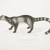 Bengal Civet, Viverra Bengalensis.