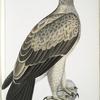 White Dotted Eagle, Aquilla punctata.