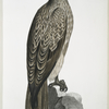 Lined Fishing Eagle, Haliætus lineatus.