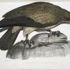 Plain Fishing Eagle, Haliætus unicolor.