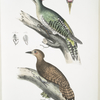 1. Almorah Woodpecker, Picus dimidiatus; 2. Rufus Indian Woodpecker,  Picus rufus.