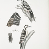 Lesser spotted Woodpecker, Picus Macei. 1. Male, 2. Female, 2a. Wing, 2b. Tail.
