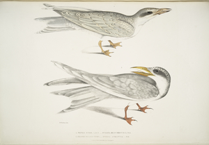 1. Waved Tern, Sterna brevirostris; 2. Orange Billed Tern, Sterna aurantia.