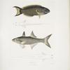 1. Hardwicke's Julis, Julis Hardwickii;  2. Short-rayed Paradise Fish, PolynemusTeria.