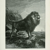 Barbary Lion.
