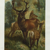 Stag, or Red Deer.