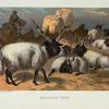 Wallachian Sheep.