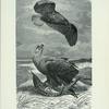 Cinereous, White-Tailed, or Sea-Eagle.