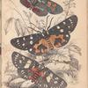 1. Agarista picta; 2. Eusemia lectrix; 3.  Eusemia maculatrix
