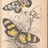 1. Heleona fenestrata; 2. Anthomyza Teresia.