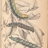 1. Caterpillar of Metopsilus Tersa; 2. Do. of Sphinx  Chionanthi; 3. Do. of Sphinx Gaurae.