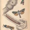 1. 2. Heptolus lignivora; 3. Caterpillar of D-o; 4. Zeuzera minea.