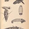 1- 5. Metamorphoses of Oiketicus Kirbyi; 6. Cryptothelea Macleayi.