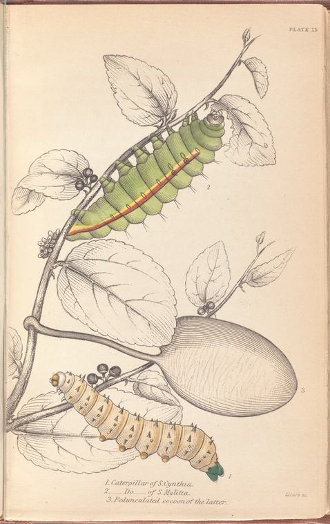 1. Caterpillar of Saturnia Cynthia; 2. Caterpillar of Saturnia Mylitta; 3. Pedunculated cocoon of the latter.