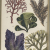 1. Chylocladia articulata; 2. Ectocarpus siliculosus; 3. Padina pavonia, Peacock's tail; 4. Porphyra laciniata, Purple Laver, or Sloke; 5. Dictyota dichotoma