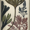 1. Laminaria digitata, Tangle; 2. Fucus serratus, Notched wrack; 3. Bryopsis plumosa; 4. Delesseria hypoglossum.