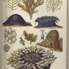 1. Sertularia fillicula; 2. Flustra foliacea; 3. Coryne pusilla; 4. Actinia mesembryanthemum; 5. Ditto; 6. Lepralia ciliata; 7. Cellularia avicularis; 8. Alcyonium digitatum; 9. Bunodes crassicornis