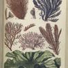 1. Griffithsia setacea. A fruit magnified; 2. Polysiphonia urceolata. A fruit magnified;  3. Plocamium coccineum. A portion magnified; 4. Rhodymenia bifida; 5. Ptilota plumosa; 6. Ulva latissima, Green Laver, or Sloke.