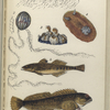 1. Æquorea, Medusa, or Jelly-fish; 2. Cydippe pileus, Beroe, or Egg Jelly-fish; 3. Balanus, Acorn-shell, or Acorn-barnacle; 4. Doris ptilota, Naked-gilled Sea-slug; 5. Gobius unipunctatus, One-spotted Goby; 6. Blennius pholis, Shanny.