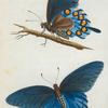 Papilio: Papilio philenor. fabr.