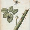 Laphria: Laphria fulvicauda, Laphria sericea, Laphria dorsata.