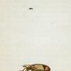 Anthicus: Anthicus bicolor, Anthicus monodon, fabr.