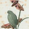 Smerinthus: Smerinthus geminatus.