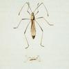 Berytus: Berytus spinosus.