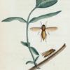 Coenomyia: Coenomyia pallida.
