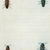 Buprestis: Buprestis rufipes, Buprestis fasciata, Buprestis confluenta, Buprestis campestris.