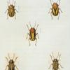 Cryptocephalus: Cryptocephalus ornatus, Cryptocephalus Confluentus, Cryptocephalus bivittatus, Cryptocephalus viduatus, Cryptocephalus othonus.