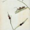 Reduvius. fabr. latr.: Reduvius novenarius, Reduvius crassipes, Reduvius spissipes, Reduvius raptatorius.