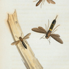 Tremex: Tremex obsoletus, Tremex columba.