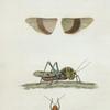 Gryllus: Gryllus formosus, Gryllus hirtipes, Gryllus trifasciatus.