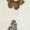 Hipparchia: Hipparchia andromacha.