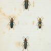 Languria: Languria bicolor, Languria mozardi, Languria puncticollis, Languria trifasciata.