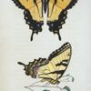 Papilio: Papilio turnus.